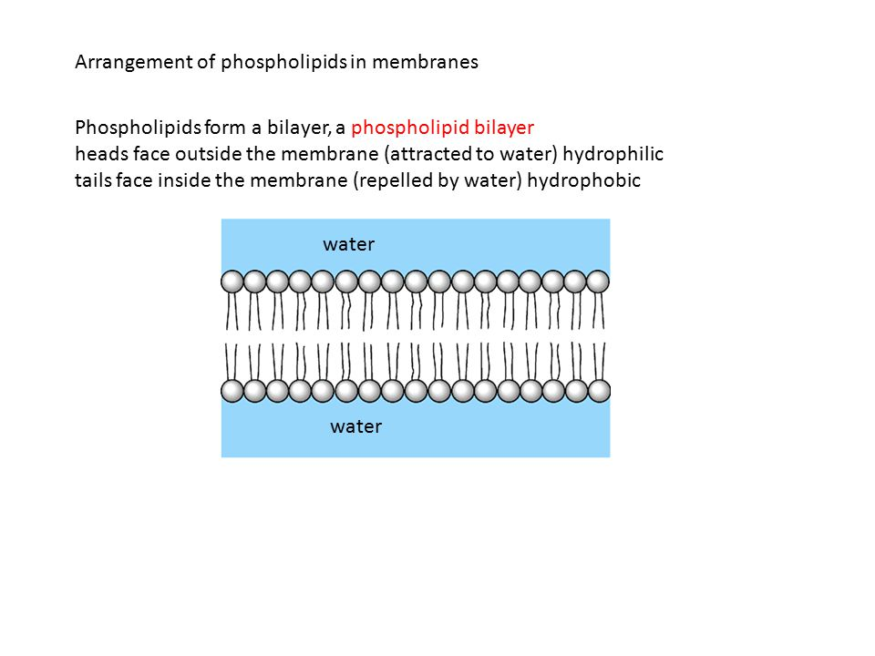 Arrangement of phospholipids in membranes water Phospholipids form a bilayer, a phospholipid bilayer heads face outside the membrane (attracted to water) hydrophilic tails face inside the membrane (repelled by water) hydrophobic