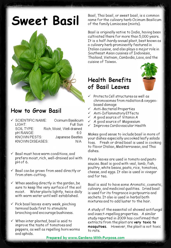 Sweet Basil Basil, Thai basil, or sweet basil, is a common name for the culinary herb Ocimum Basilicum of the family Lamiaceae (mints).