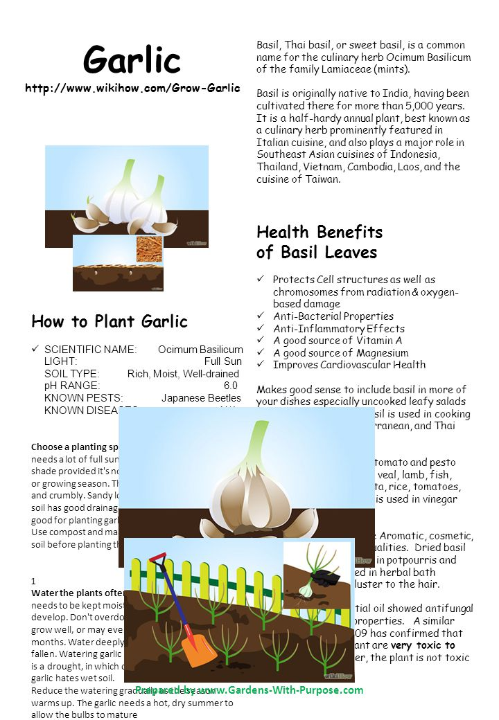 Garlic http://www.wikihow.com/Grow-Garlic Basil, Thai basil, or sweet basil, is a common name for the culinary herb Ocimum Basilicum of the family Lamiaceae (mints).
