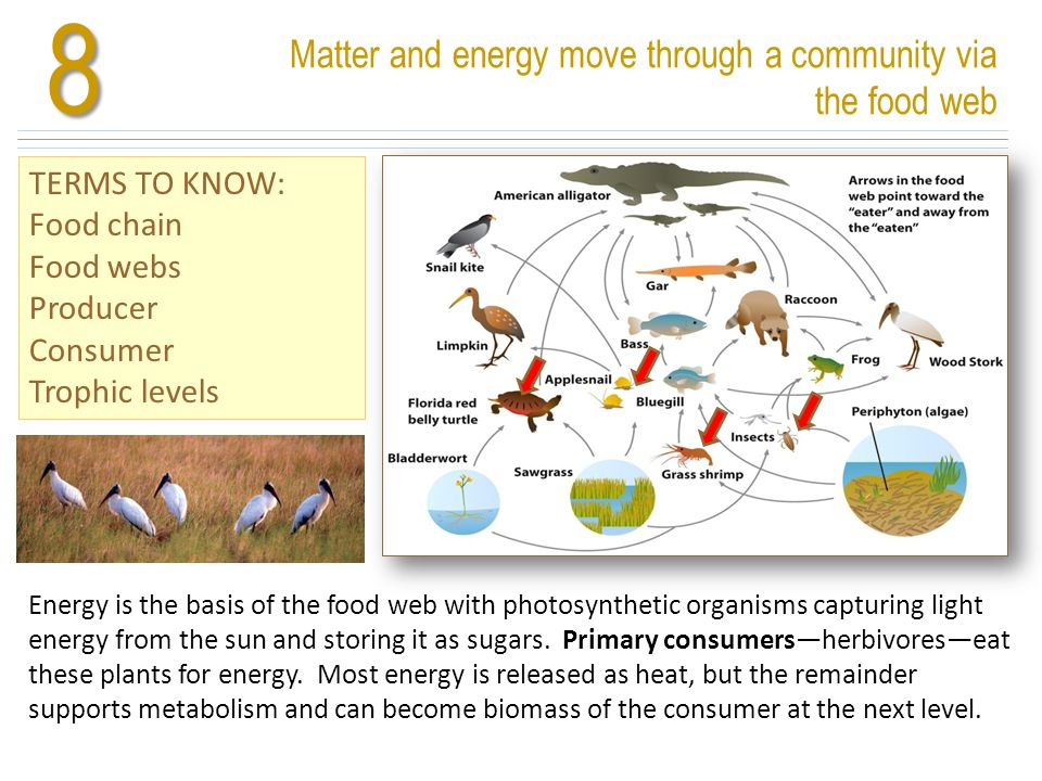 Matter and energy move through a community via the food web TERMS TO KNOW: Food chain Food webs Producer Consumer Trophic levels8 Energy is the basis