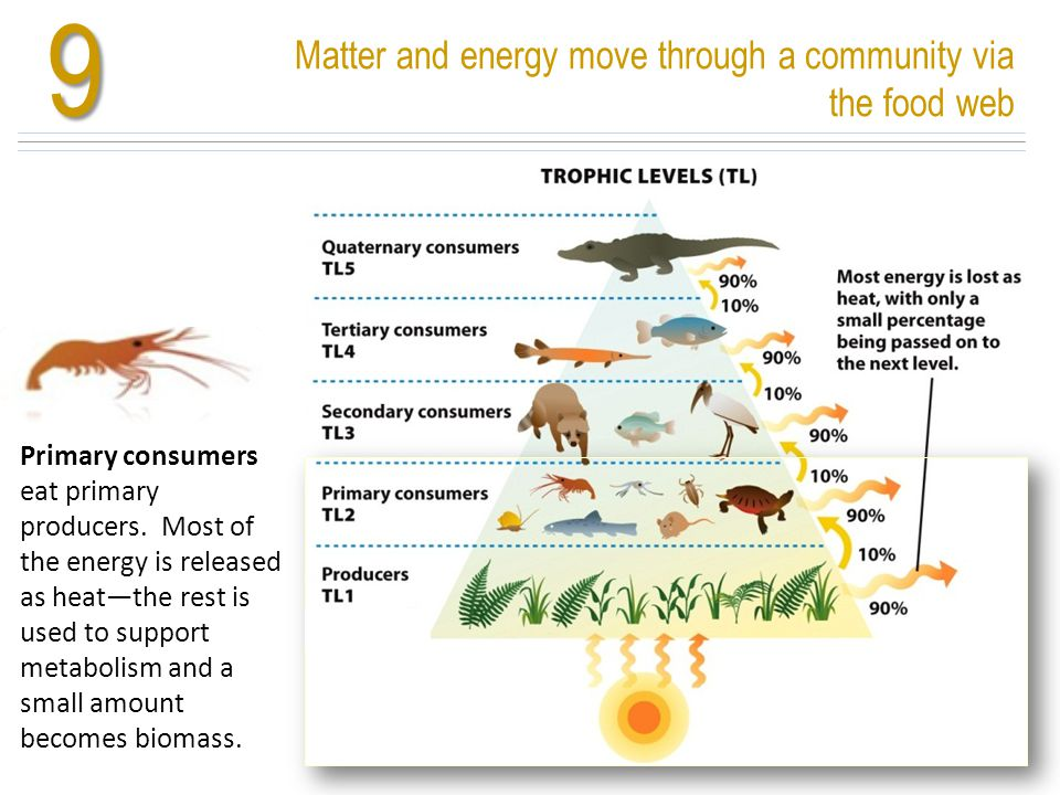 Matter and energy move through a community via the food web9 Nutrients cycle and energy flows Primary consumers eat primary producers. Most of the ene