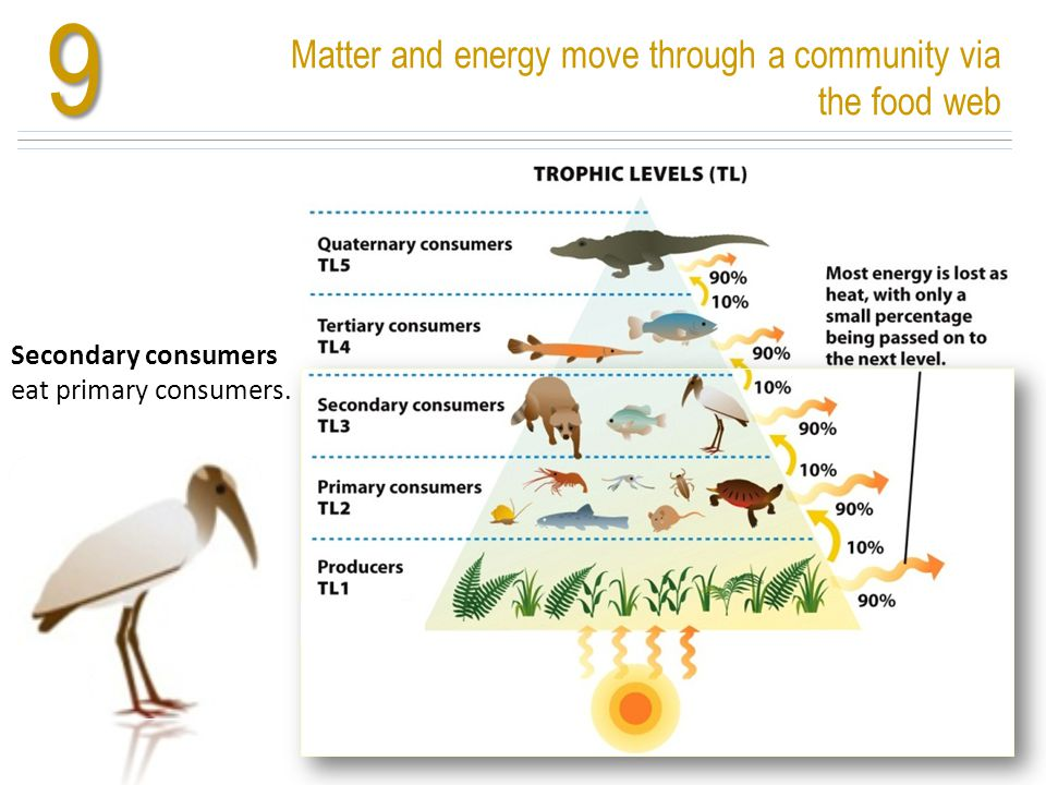 Matter and energy move through a community via the food web9 Nutrients cycle and energy flows Secondary consumers eat primary consumers.