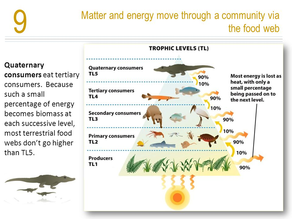 Matter and energy move through a community via the food web 9 Nutrients cycle and energy flows Quaternary consumers eat tertiary consumers. Because su