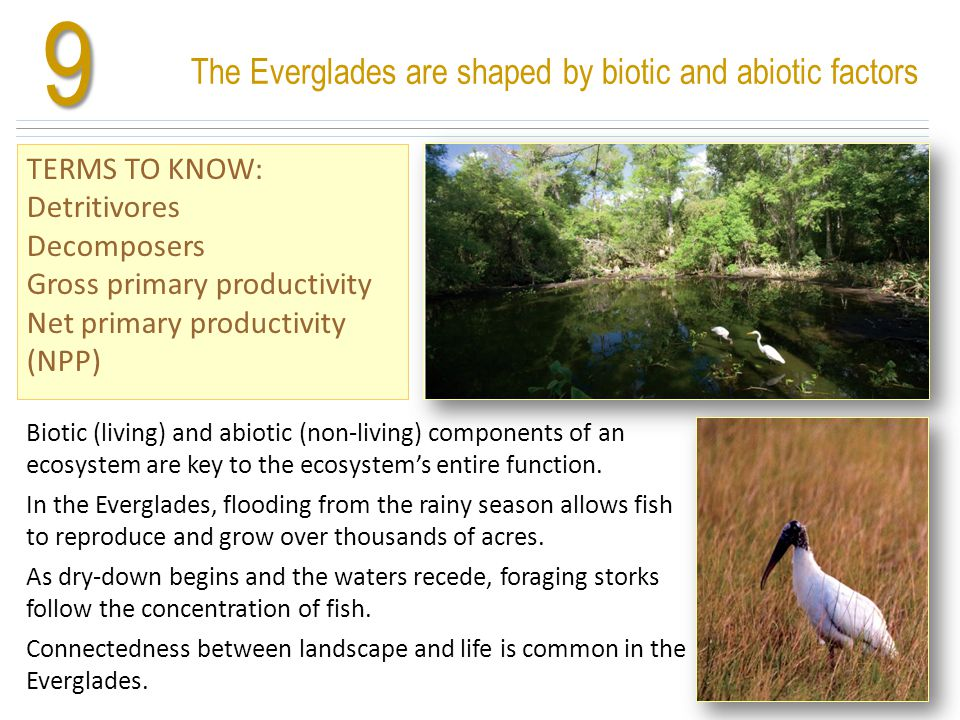 The Everglades are shaped by biotic and abiotic factors TERMS TO KNOW: Detritivores Decomposers Gross primary productivity Net primary productivity (N