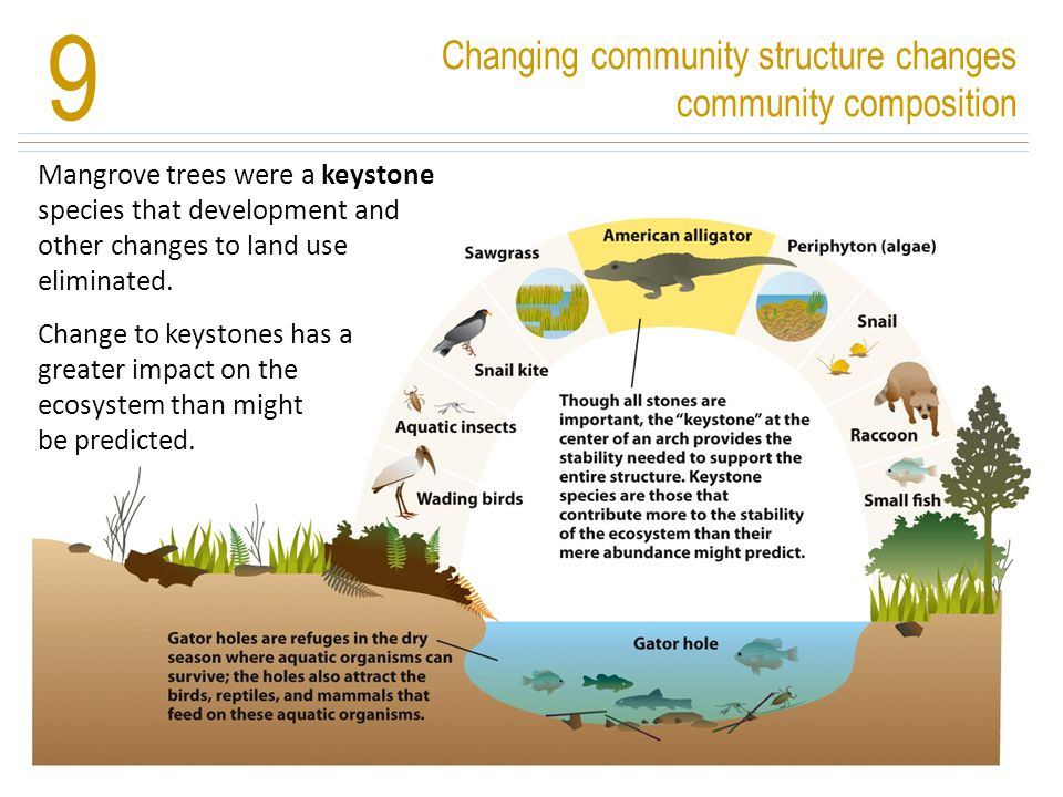 Changing community structure changes community composition 9 Mangrove trees were a keystone species that development and other changes to land use eli