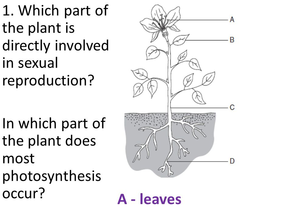 1.Which part of the plant is directly involved in sexual reproduction.