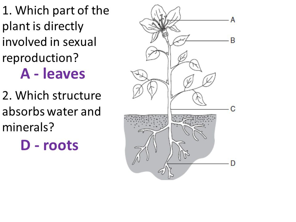1. Which part of the plant is directly involved in sexual reproduction? 2. Which structure absorbs water and minerals? A - leaves D - roots