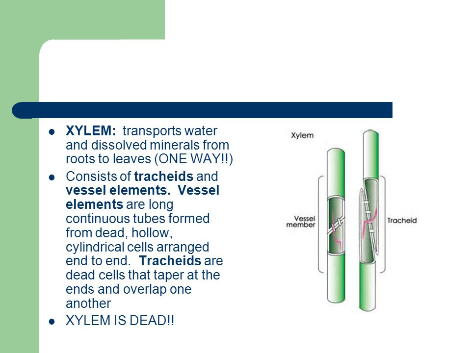 XYLEM: transports water and dissolved minerals from roots to leaves (ONE WAY!!) Consists of tracheids and vessel elements.