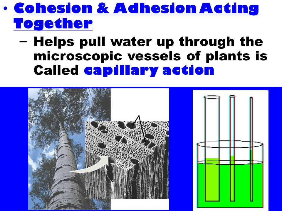 Cohesion & Adhesion Acting Together – Helps pull water up through the microscopic vessels of plants is Called capillary action