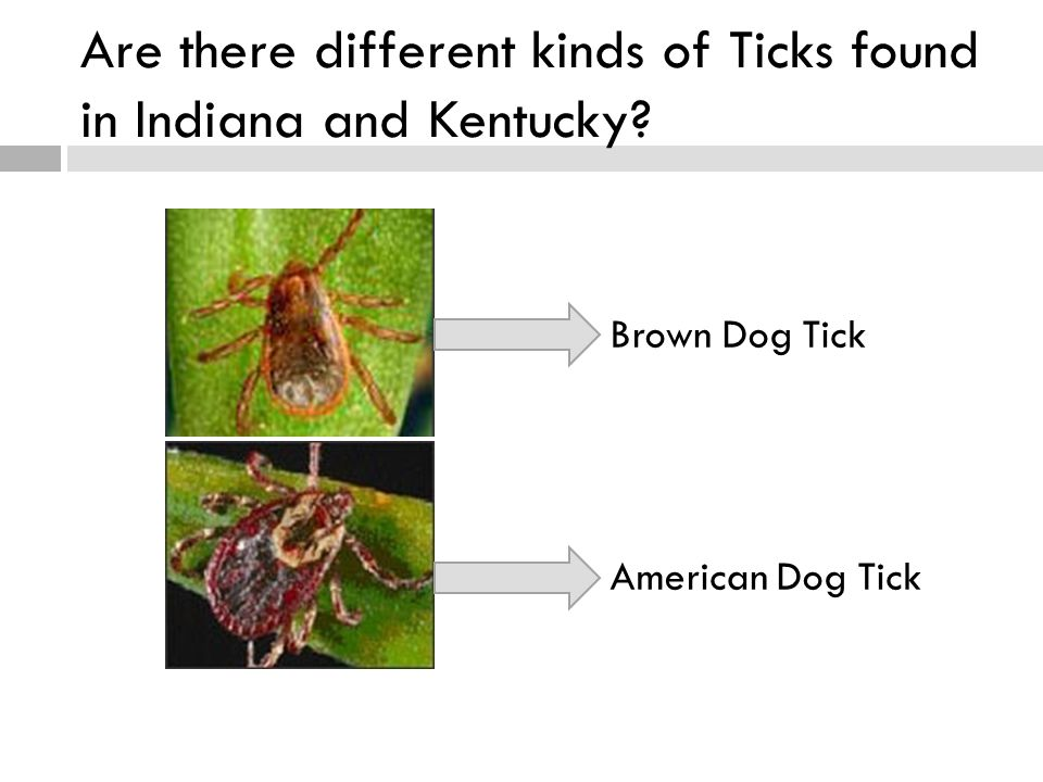 Are there different kinds of Ticks found in Indiana and Kentucky Brown Dog Tick American Dog Tick