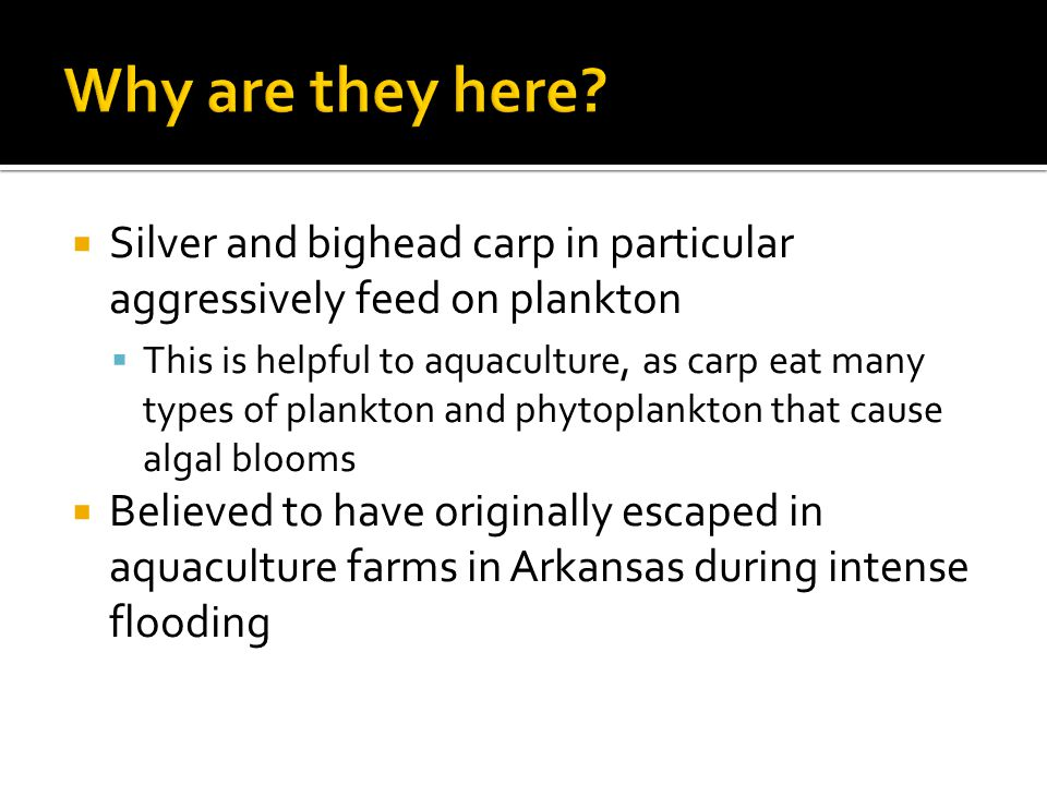  Silver and bighead carp in particular aggressively feed on plankton  This is helpful to aquaculture, as carp eat many types of plankton and phytoplankton that cause algal blooms  Believed to have originally escaped in aquaculture farms in Arkansas during intense flooding