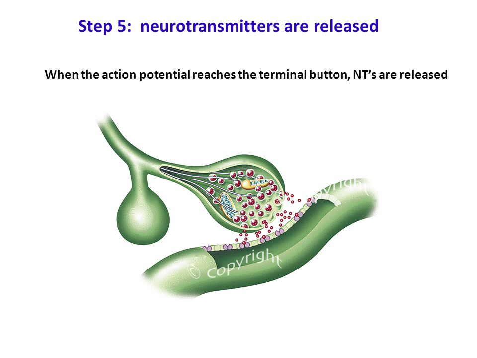 Step 5: neurotransmitters are released When the action potential reaches the terminal button, NT's are released