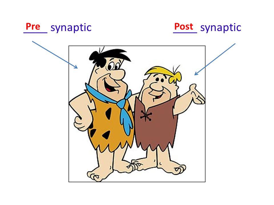 ____ synaptic PrePost