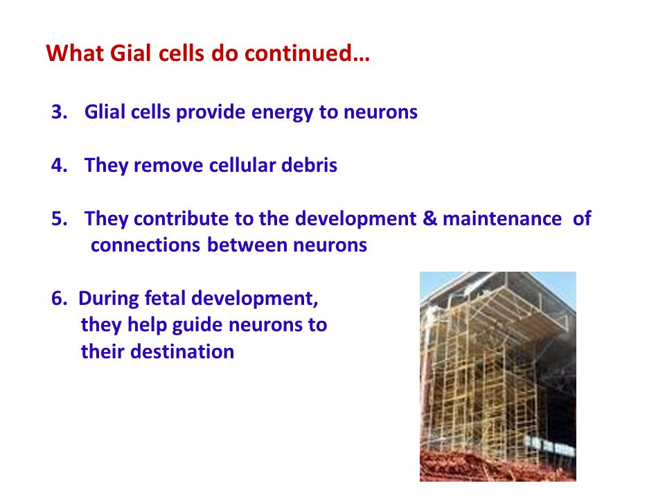 3.Glial cells provide energy to neurons 4.They remove cellular debris 5.They contribute to the development & maintenance of connections between neurons 6.