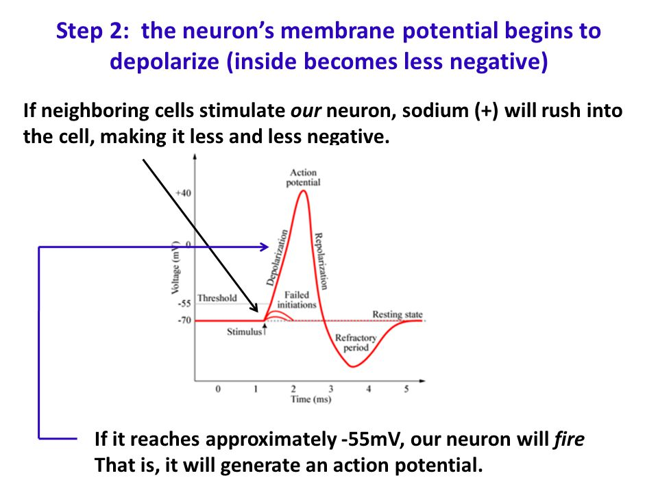 Step 2: the neuron's membrane potential begins to depolarize (inside becomes less negative) If neighboring cells stimulate our neuron, sodium (+) will rush into the cell, making it less and less negative.