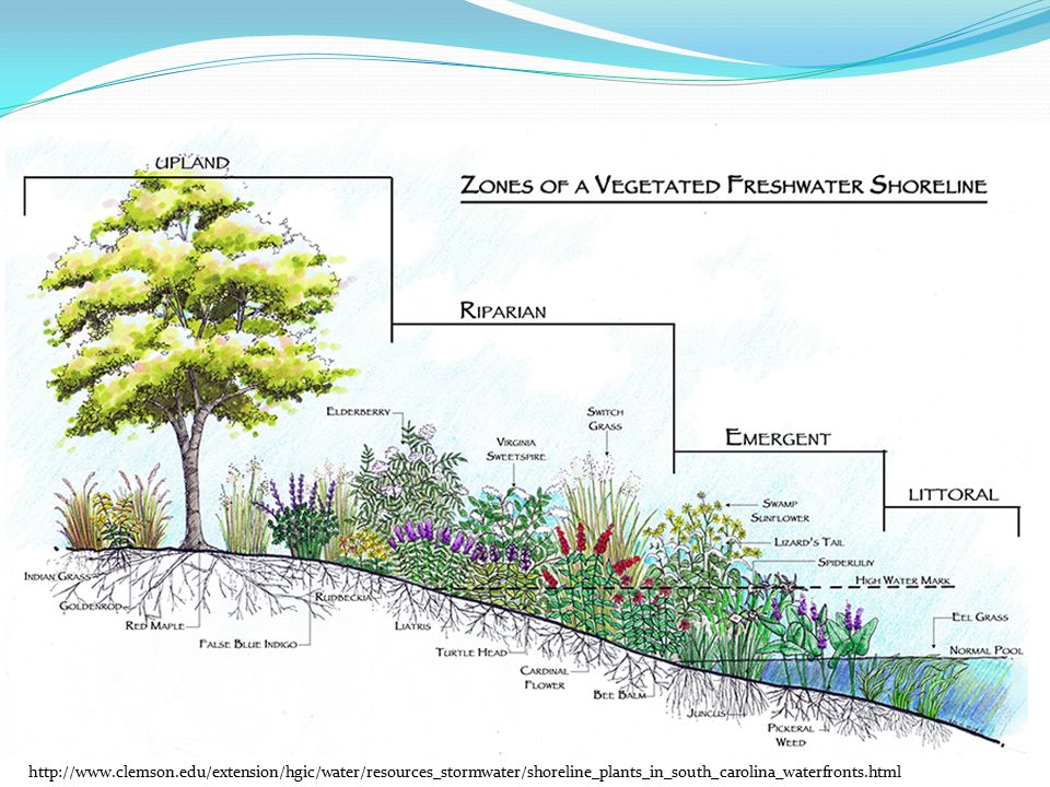 http://www.clemson.edu/extension/hgic/water/resources_stormwater/shoreline_plants_in_south_carolina_waterfronts.html