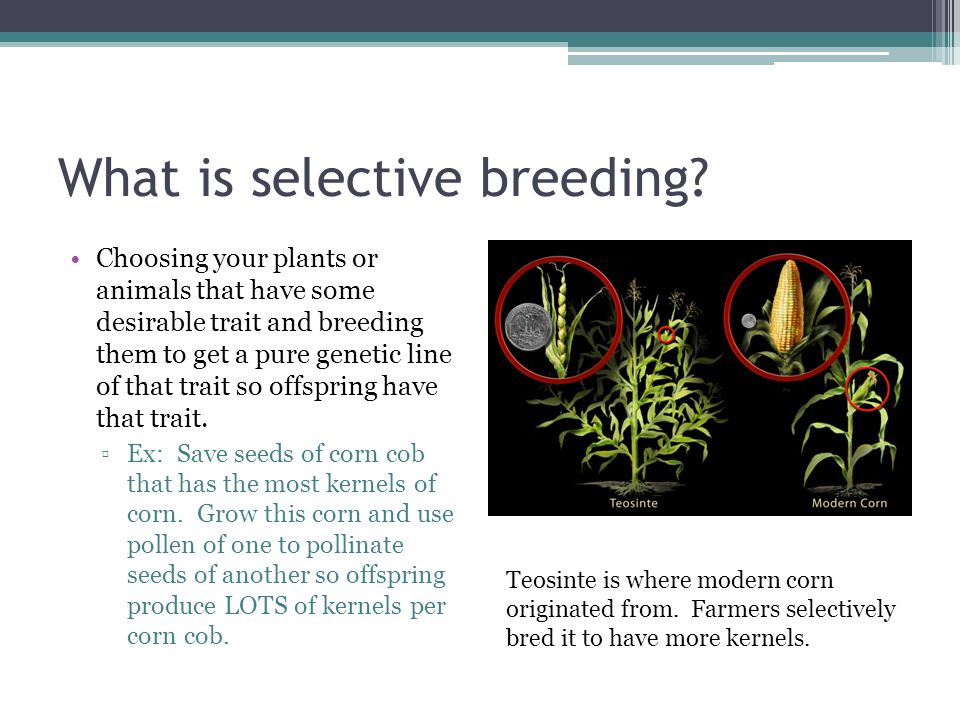 What is selective breeding? Choosing your plants or animals that have some desirable trait and breeding them to get a pure genetic line of that trait