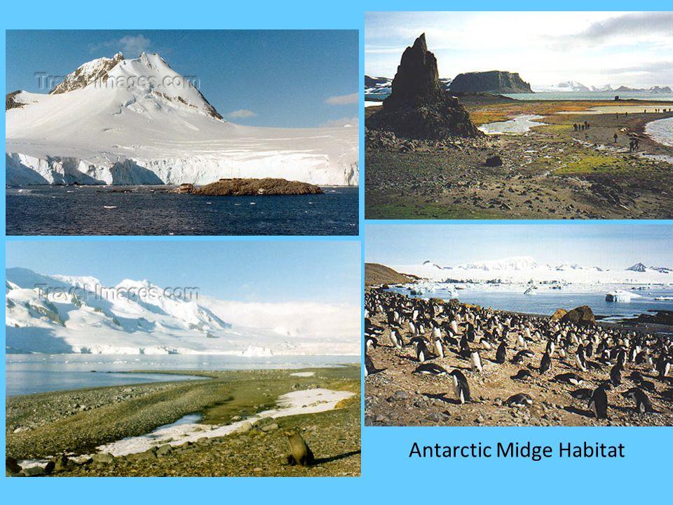 Antarctic Midge Habitat