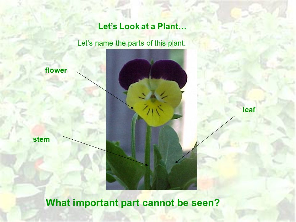 Let's Look at a Plant… Let's name the parts of this plant: flower stem leaf What important part cannot be seen?