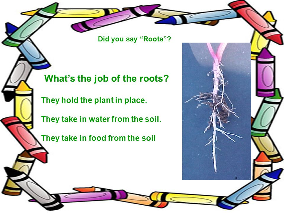 Did you say Roots .What's the job of the roots. They hold the plant in place.