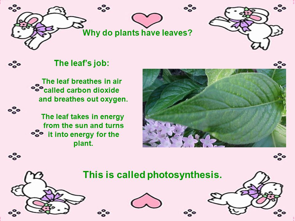 Why do plants have leaves.