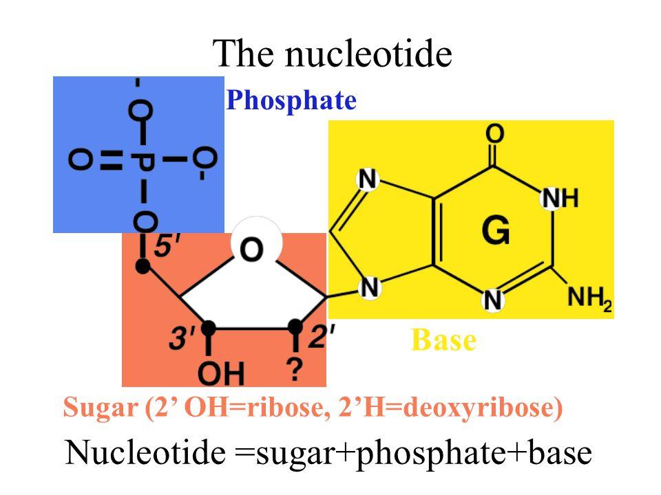 The nucleotide Nucleotide =sugar+phosphate+base Phosphate Base Sugar (2' OH=ribose, 2'H=deoxyribose)