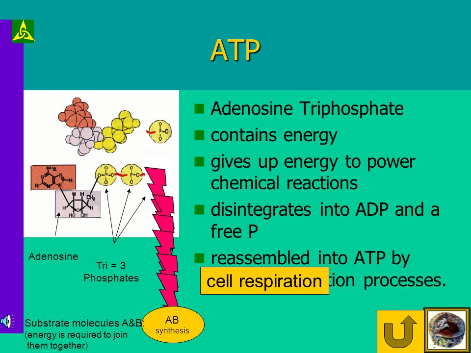 Mitochondria ATP Cell Division Protein Synthesis Ion Pumps