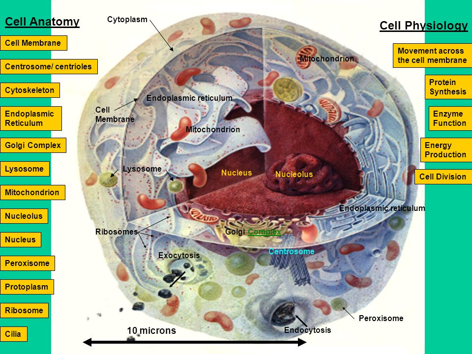 Nucleolus Nucleus Endoplasmic reticulum Cell Membrane Lysosome Golgi Complex Exocytosis Peroxisome Centrosome Ribosomes Endocytosis Mitochondrion Endoplasmic reticulum 10 microns Endoplasmic Reticulum Cell Membrane Mitochondrion Nucleus Nucleolus Centrosome/ centrioles Ribosome Lysosome Peroxisome Golgi Complex Movement across the cell membrane Cytoskeleton Cytoplasm Protoplasm Cell Division Protein Synthesis Cell Anatomy Cell Physiology Enzyme Function Energy Production Cilia