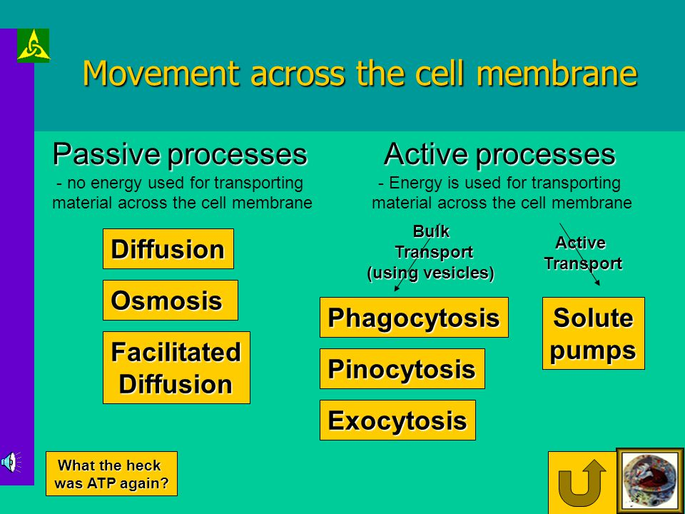 Cell Membrane Phospholipids are an important part of cell membrane structure: HydrophobicHydrophilic Phosphate