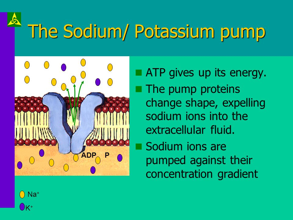 The Sodium/ Potassium pump The pump is activated by 3 sodium ions entering the protein channel. ATP is required for the pump to work K+K+ Na + ATP