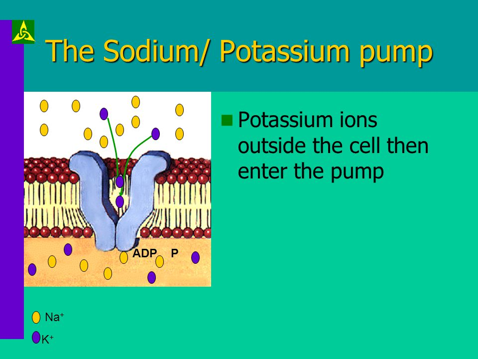 The Sodium/ Potassium pump ATP gives up its energy. The pump proteins change shape, expelling sodium ions into the extracellular fluid. Sodium ions ar