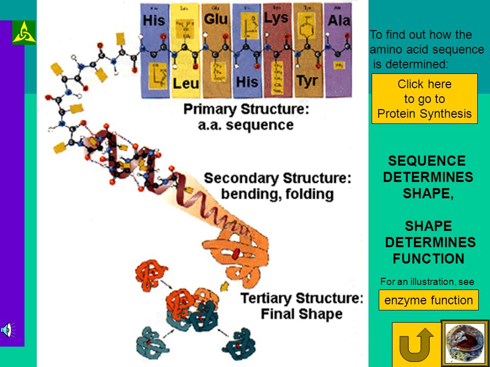 Protein Structure Each protein is made by linking a specific sequence of amino acids linking together through peptide bonds (see the amino acid page if you haven't yet) Amino acid As the amino acid chain forms the side groups will attract or repel each other and the surrounding polar water molecules.