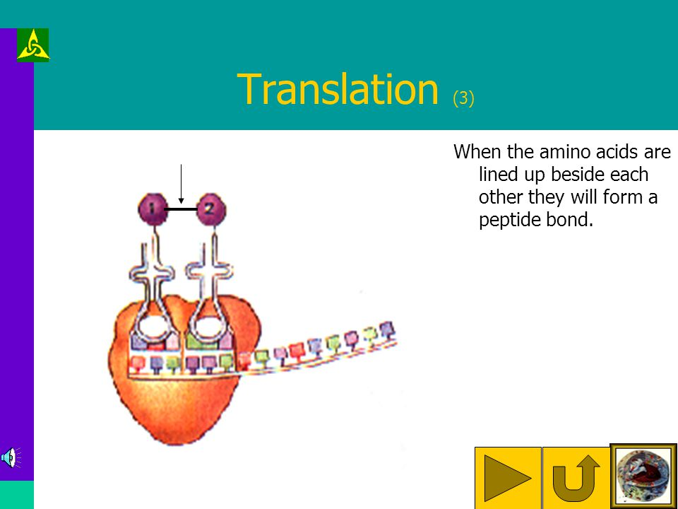 Translation (2) The ribosome lines up the tRNA molecules with their amino acids.