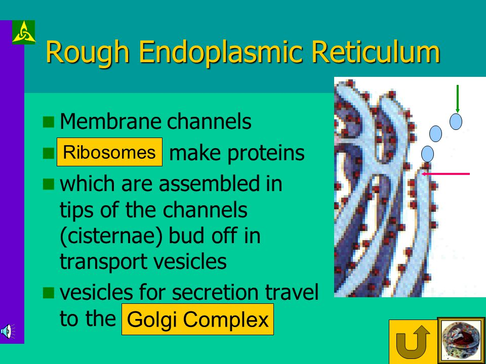 Rough Endoplasmic Reticulum Membrane channels Ribosomes make proteins which are assembled in tips of the channels (cisternae) bud off in transport vesicles vesicles for secretion travel to the Golgi Complex Ribosomes Golgi Complex