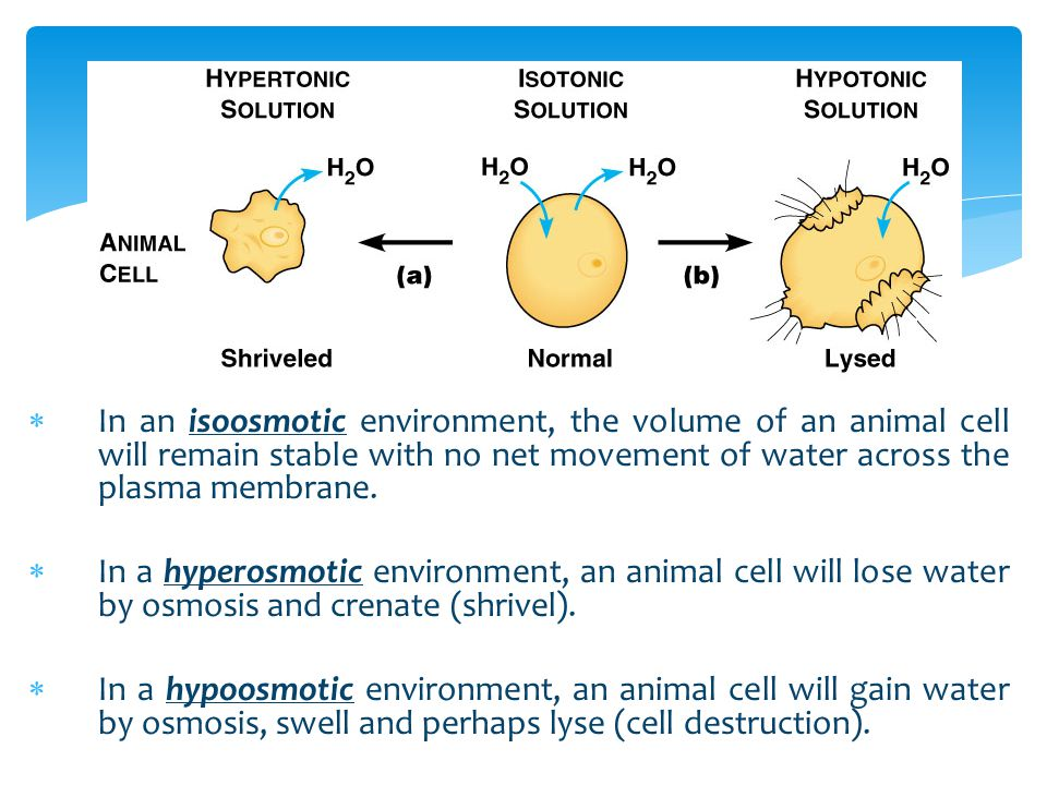  In an isoosmotic environment, the volume of an animal cell will remain stable with no net movement of water across the plasma membrane.  In a hyper