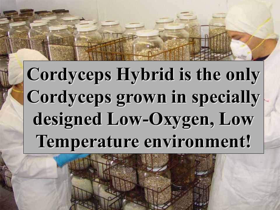 Cordyceps Hybrid is the only Cordyceps grown in specially designed Low-Oxygen, Low Temperature environment!