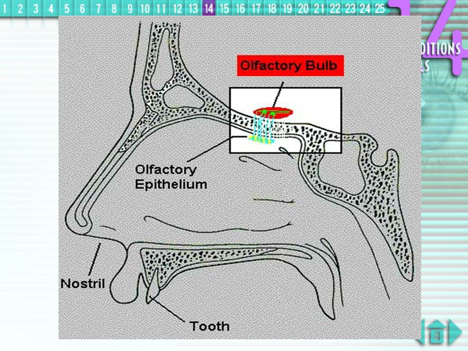 Nose  on the upper roof of nasal cavity, chemical receptors, olfactory cells, responsible for detecting sense of smell are situated  receptors can detect smell in solution only as the lining of nasal cavity is covered with mucous layer