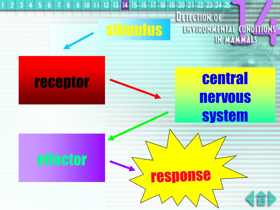 receptors: organs used to detect stimuli, specific, consists one or many sensory cells which they will send impulses to brain through nerve fibres effectors: part of body that reacts to a stimulus or produces responses