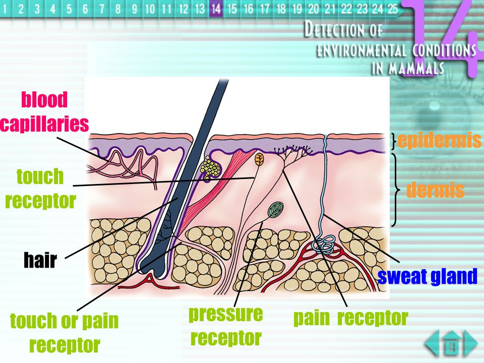 Skin  at least five kinds of nerve endings exist in dermis for detecting touch, pressure, temperature, pain and hair movements  receptors in skin present all over the body but are distributed unevenly  largest organ in human body