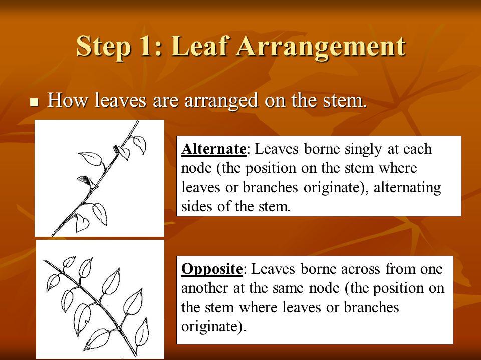 Step 1: Leaf Arrangement How leaves are arranged on the stem.