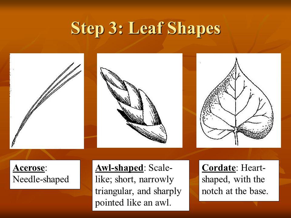 Step 3: Leaf Shapes Acerose: Needle-shaped Awl-shaped: Scale- like; short, narrowly triangular, and sharply pointed like an awl.