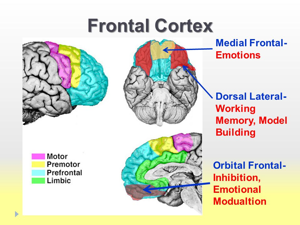 Frontal Cortex Medial Frontal- Emotions Orbital Frontal- Inhibition, Emotional Modualtion Dorsal Lateral- Working Memory, Model Building