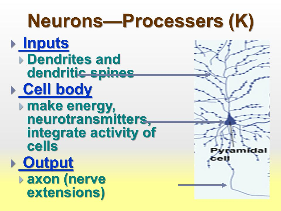 Neurons—Processers (K)  Inputs  Dendrites and dendritic spines  Cell body  make energy, neurotransmitters, integrate activity of cells  Output  axon (nerve extensions)