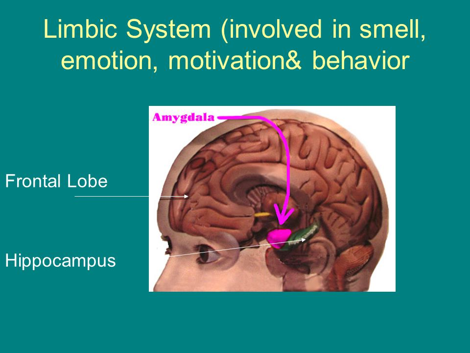 Limbic System (involved in smell, emotion, motivation& behavior Frontal Lobe Hippocampus