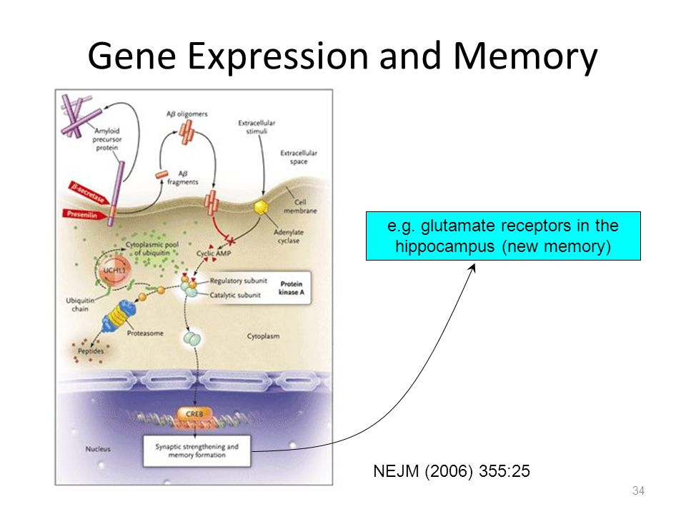 34 Gene Expression and Memory NEJM (2006) 355:25 e.g. glutamate receptors in the hippocampus (new memory)