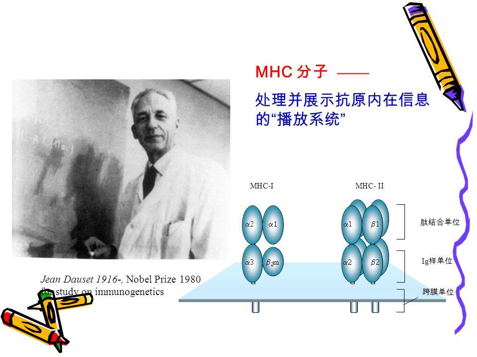 MHC-IMHC- II 22  11 mm 11  肽结合单位 Ig 样单位 跨膜单位 MHC 分子 —— 处理并展示抗原内在信息 的 播放系统 Jean Dauset 1916-, Nobel Prize 1980 for study on immunogenetics