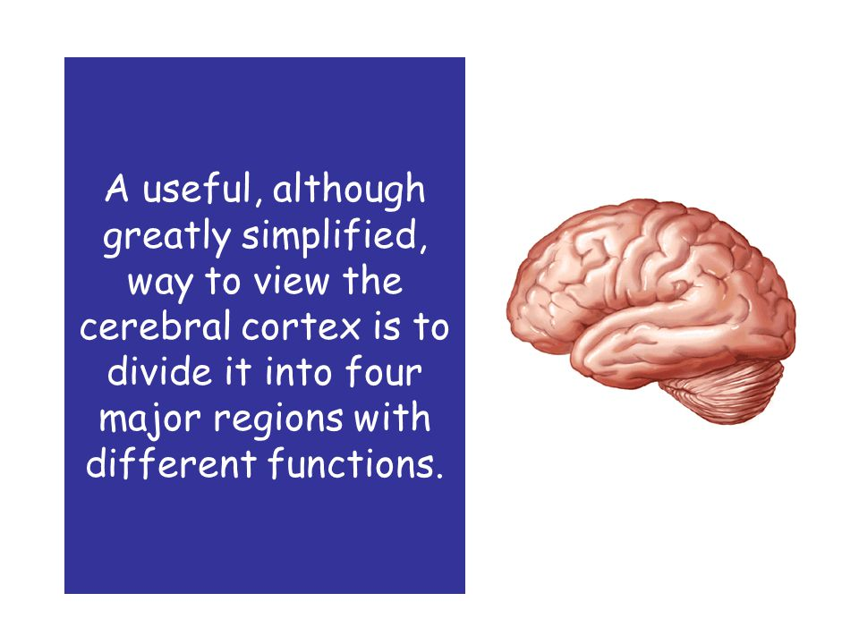 A useful, although greatly simplified, way to view the cerebral cortex is to divide it into four major regions with different functions.
