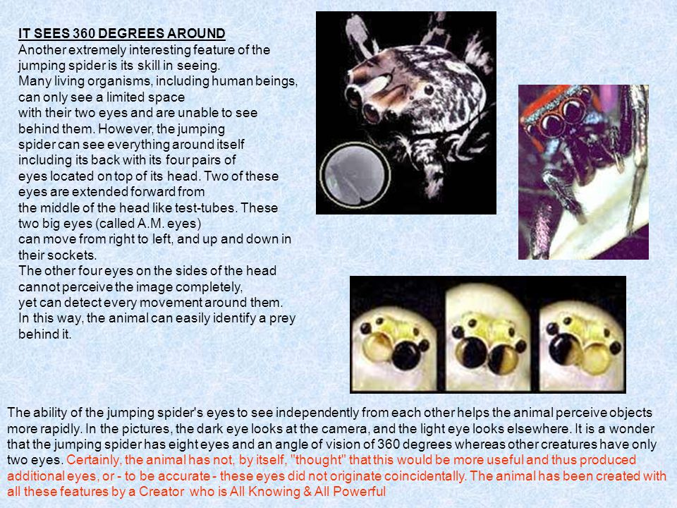 IT SEES 360 DEGREES AROUND Another extremely interesting feature of the jumping spider is its skill in seeing.