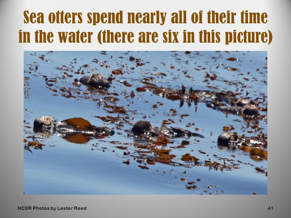 Sea otters spend nearly all of their time in the water (there are six in this picture) NCSR Photos by Lester Reed41