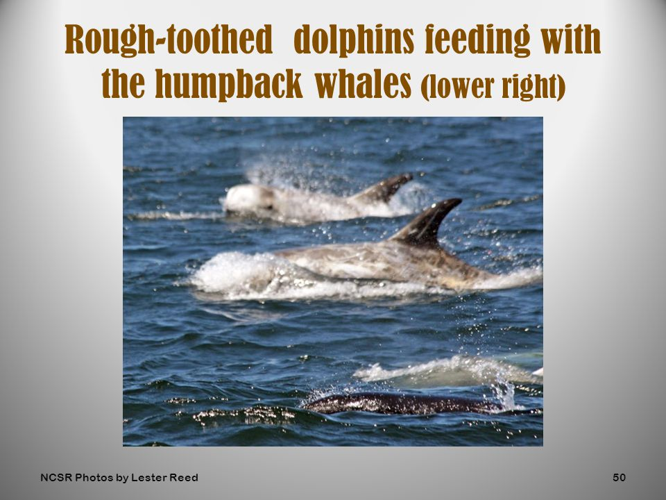 Rough-toothed dolphins feeding with the humpback whales (lower right) NCSR Photos by Lester Reed50